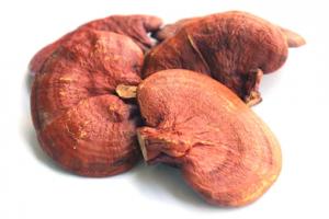 خرید و فروش مستقیم و عمده قارچ گانودرما